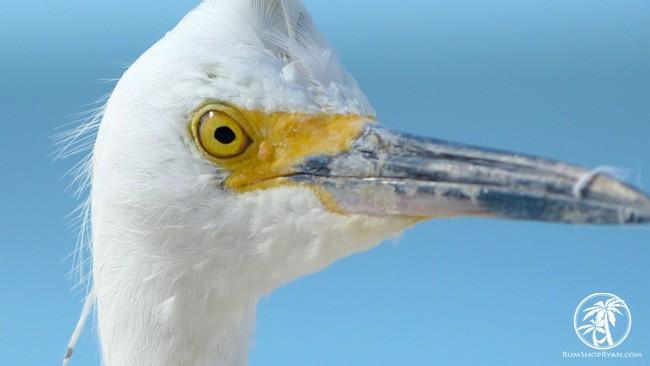 beach egret