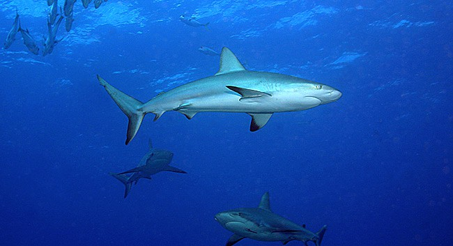 Danger reef sharks