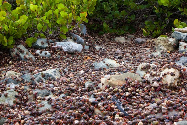hermit crabs on st. john