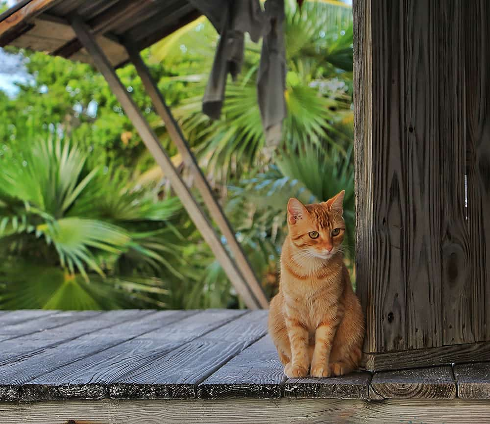 Feral Cat, Chat N' Chill, Beach Bar, Exuma, Stocking Island