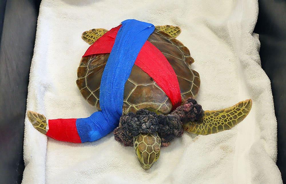 Sea Turtle, Turtle Hospital, Florida Keys, Fibropapilloma