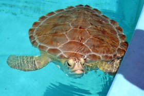 sea turtle, Florida Keys, Marathon