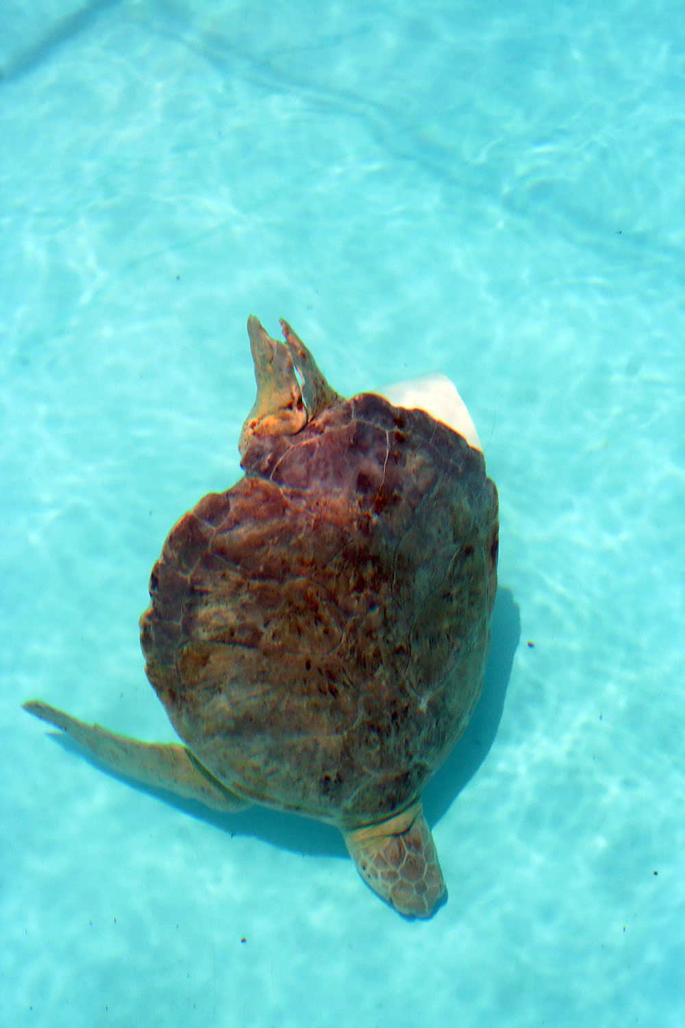 sea turtle, turtle hospital, Florida keys, Marathon