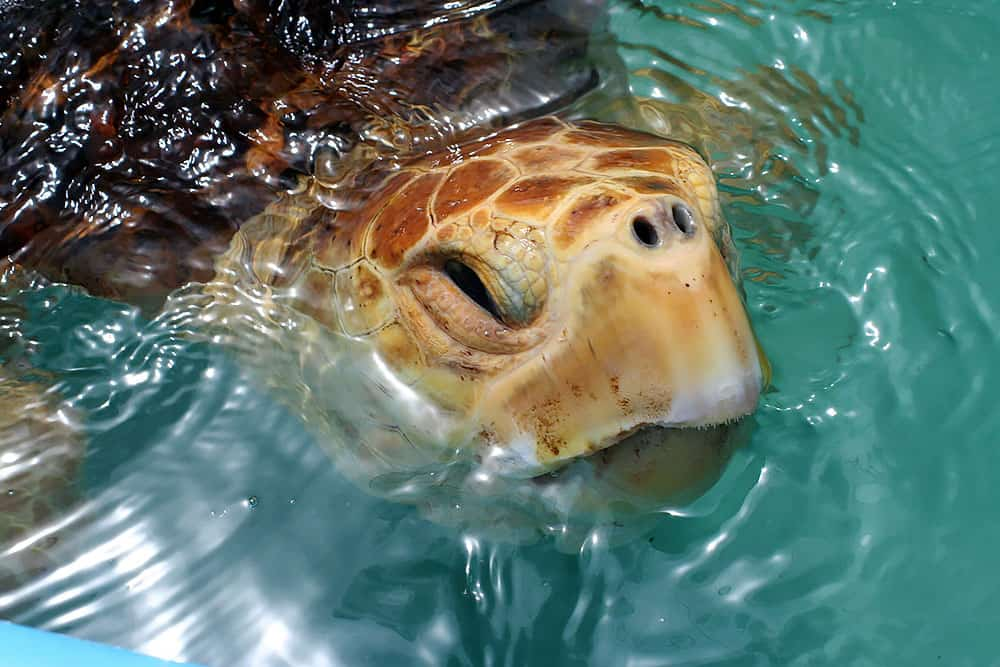 sea turtle, turtle hospital, marathon, Floirda Keys