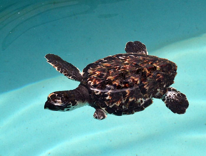 sea turtle, turtle hospital, Florida Keys,