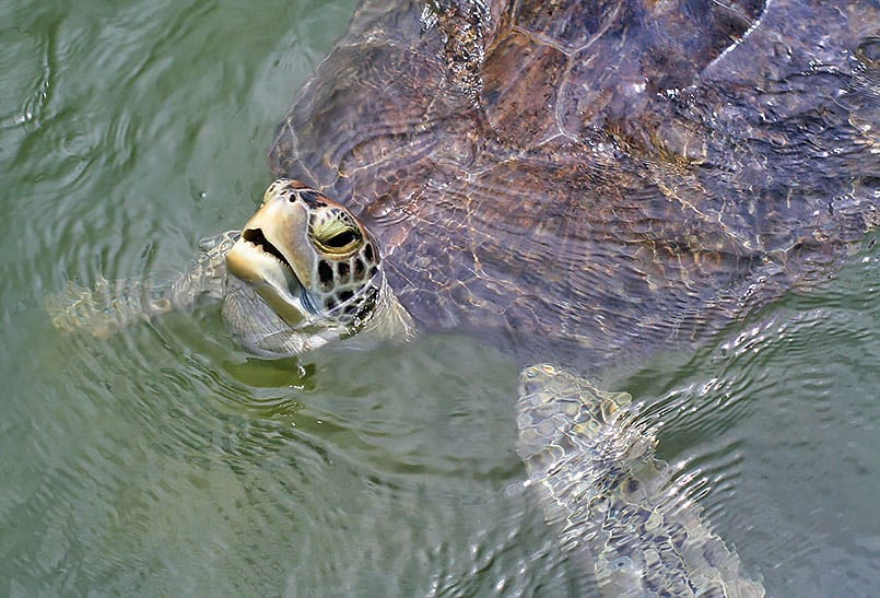 turtle hospital, Florida Keys, Marathon, Sea Turtle