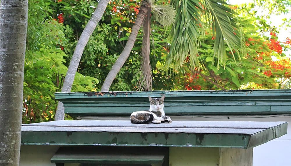 Hemingway House, Cats, Key West