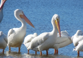 Great White Pelican, Bird, Ding Darling, Captiva, Sanibel
