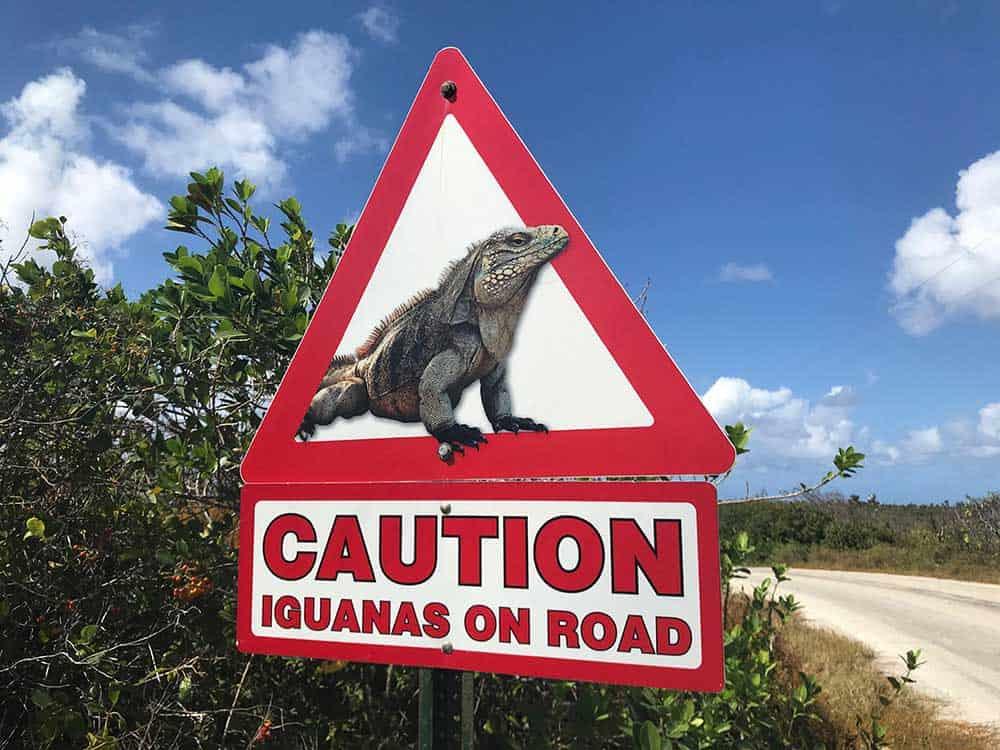 Little Cayman Iguanas