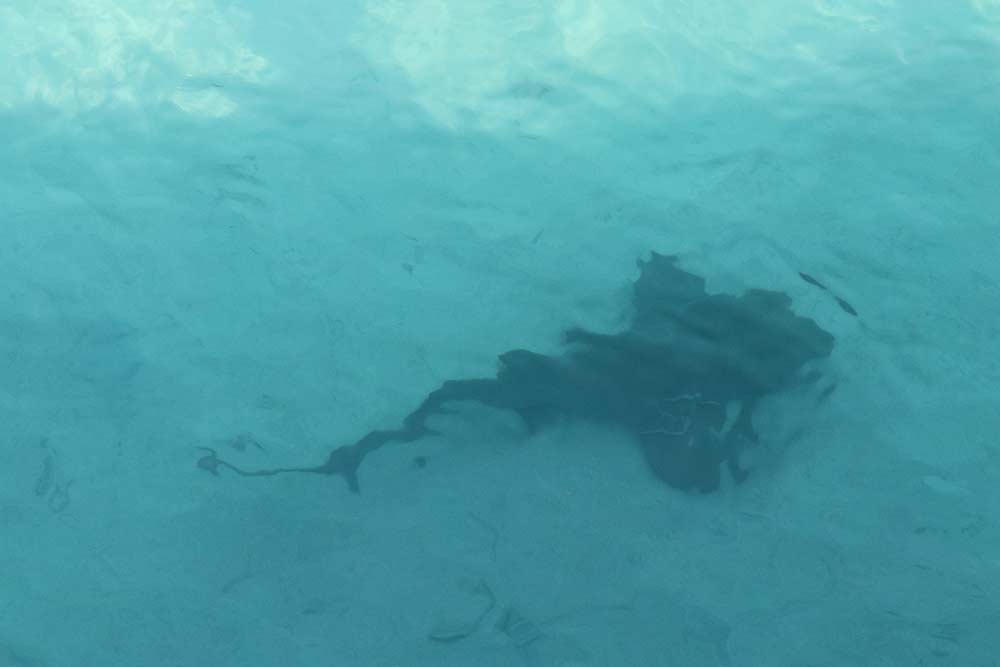 Bimini Big Game Club Shark