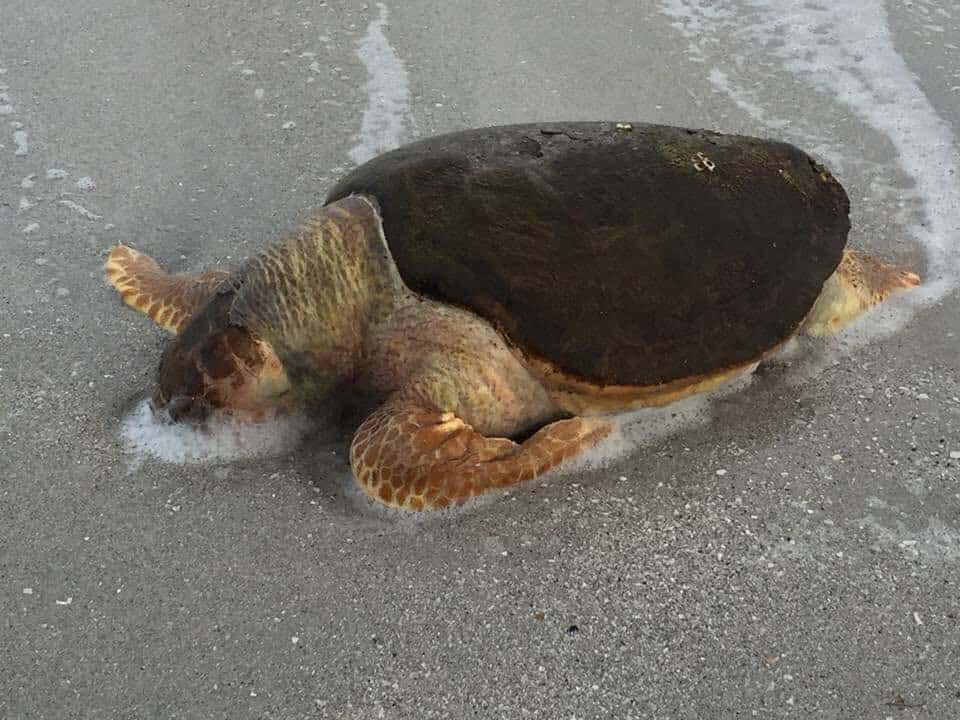 Lake Okeechobee Release, Dead sea turtle, Southwest Florida, Toxic Water